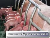 HighBalance - Alimentos balanceados para ganado porcino