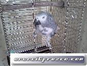 Buy African Grey Parrots For Sale