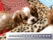Healthy Cavalier King Charles Puppies for sale