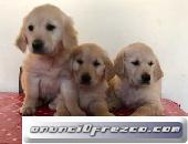 Rehoming Golden Retriever Pups en venta