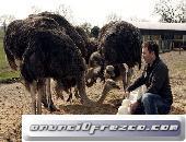 avestruz para la venta